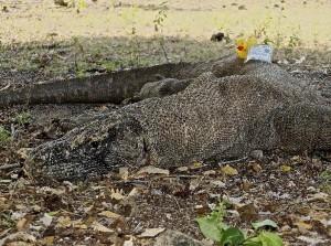 Crocodile duck