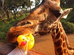 Girafmad i Kenya